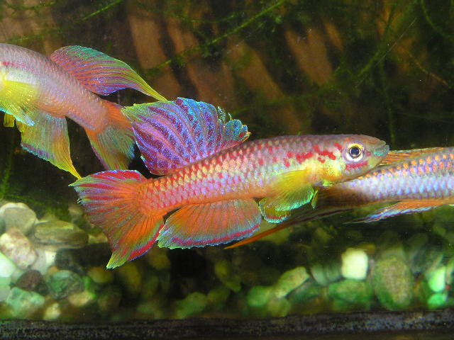 Chromaphyosemion killifish at aquarium for Common freshwater aquarium fish