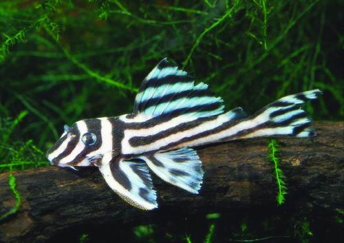 Zebra plecos at aquarium for Pleco fish for sale
